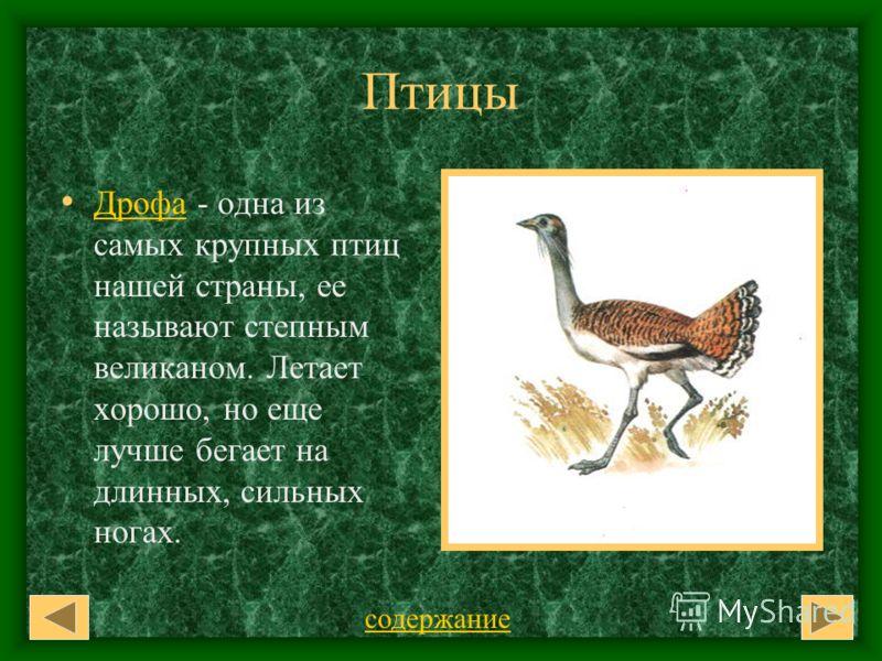 Птицы Дрофа - одна из самых крупных птиц нашей страны, ее называют степным великаном. Летает хорошо, но еще лучше бегает на длинных, сильных ногах. Дрофа содержание