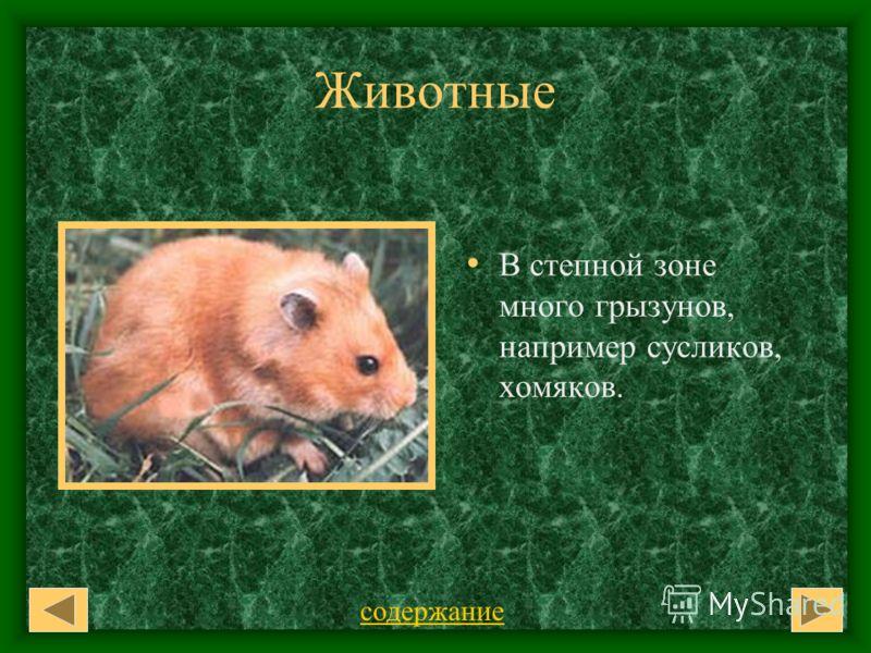 Животные В степной зоне много грызунов, например сусликов, хомяков. содержание