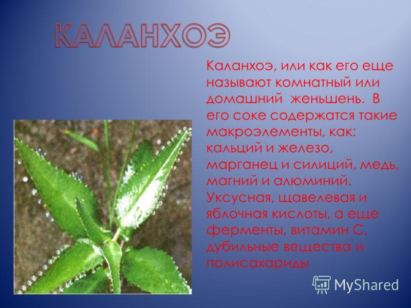 Каланхоэ, или как его еще называют комнатный или домашний женьшень. В его соке содержатся такие макроэлементы, как: кальций и железо, марганец и силиций, медь, магний и алюминий. Уксусная, щавелевая и яблочная кислоты, а еще ферменты, витамин С, дуби