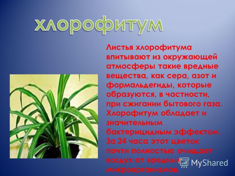 Листья хлорофитума впитывают из окружающей атмосферы такие вредные вещества, как сера, азот и формальдегиды, которые образуются, в частности, при сжигании бытового газа. Хлорофитум обладает и значительным бактерицидным эффектом. За 24 часа этот цвето