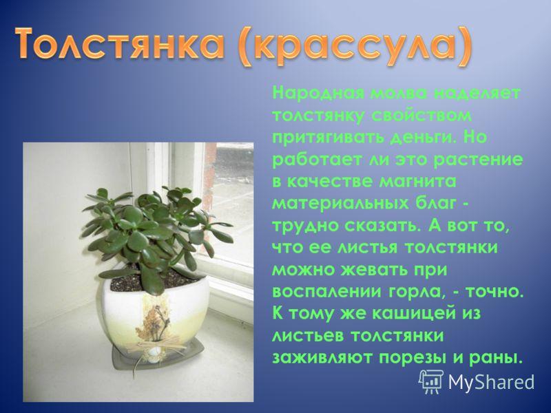 Народная молва наделяет толстянку свойством притягивать деньги. Но работает ли это растение в качестве магнита материальных благ - трудно сказать. А вот то, что ее листья толстянки можно жевать при воспалении горла, - точно. К тому же кашицей из лист