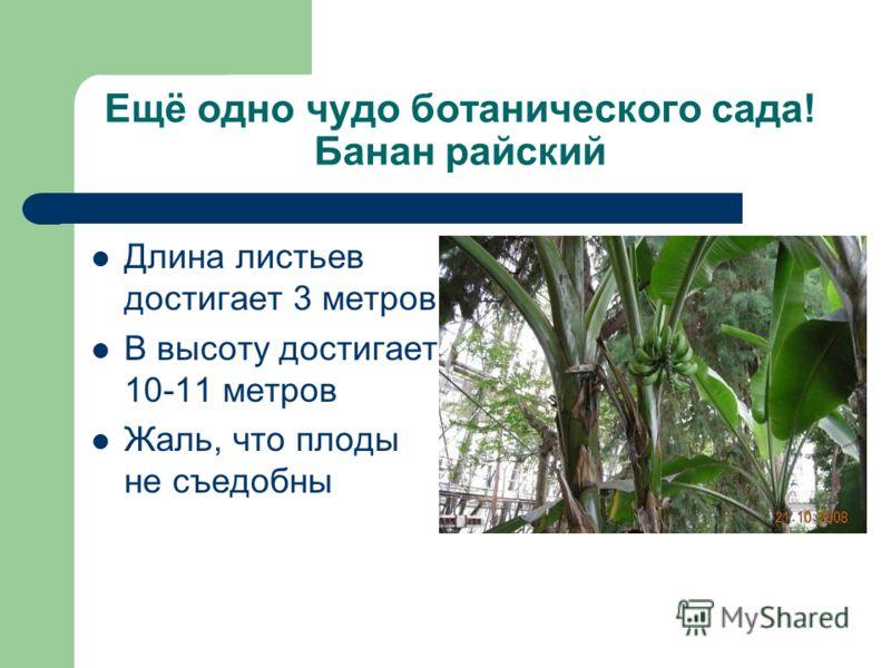 Ещё одно чудо ботанического сада! Банан райский Длина листьев достигает 3 метров В высоту достигает 10-11 метров Жаль, что плоды не съедобны