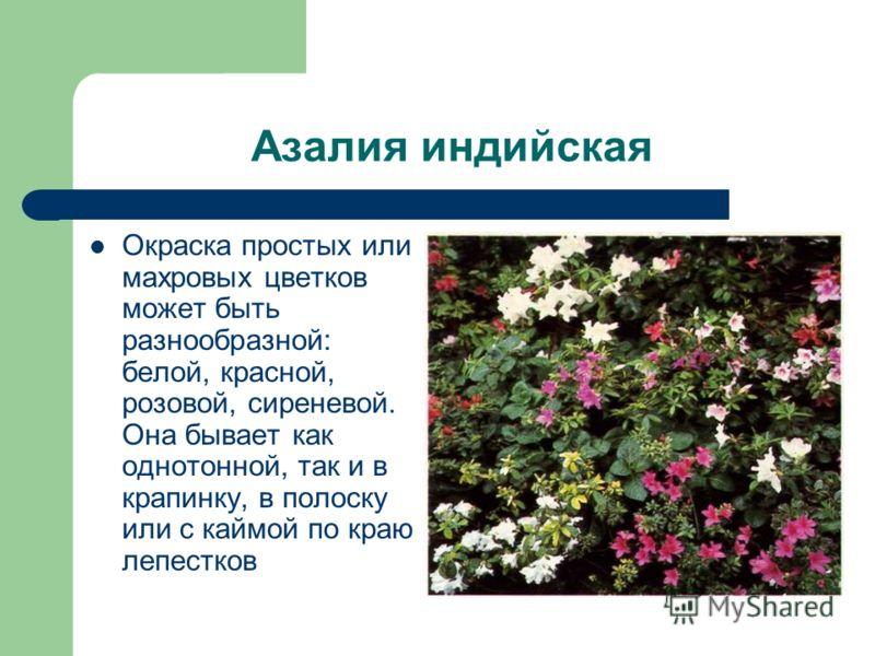 Азалия индийская Окраска простых или махровых цветков может быть разнообразной: белой, красной, розовой, сиреневой. Она бывает как однотонной, так и в крапинку, в полоску или с каймой по краю лепестков