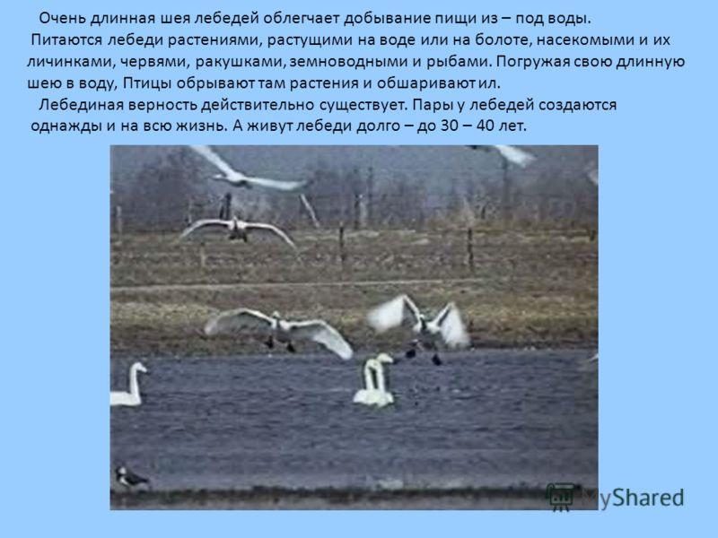 Очень длинная шея лебедей облегчает добывание пищи из – под воды. Питаются лебеди растениями, растущими на воде или на болоте, насекомыми и их личинками, червями, ракушками, земноводными и рыбами. Погружая свою длинную шею в воду, Птицы обрывают там