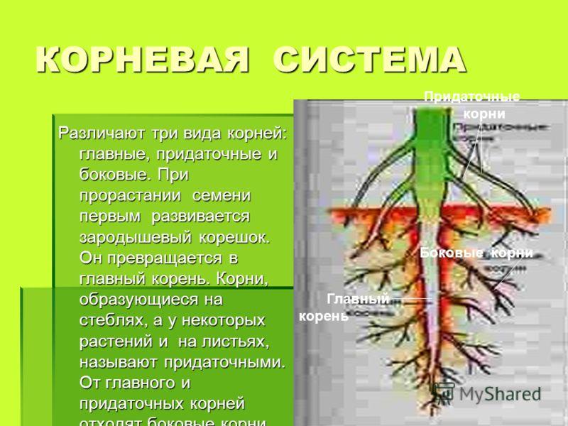 КОРНЕВАЯ СИСТЕМА Различают три вида корней: главные, придаточные и боковые. При прорастании семени первым развивается зародышевый корешок. Он превращается в главный корень. Корни, образующиеся на стеблях, а у некоторых растений и на листьях, называют