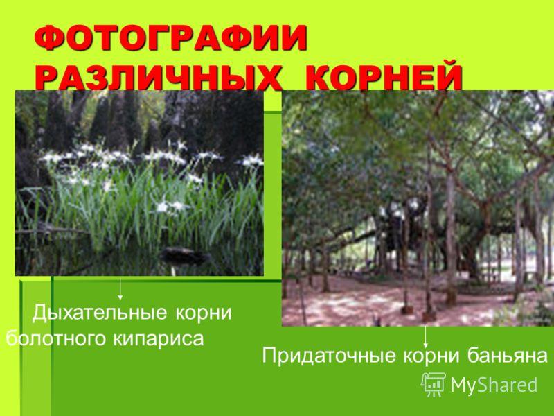 ФОТОГРАФИИ РАЗЛИЧНЫХ КОРНЕЙ Дыхательные корни болотного кипариса Придаточные корни баньяна