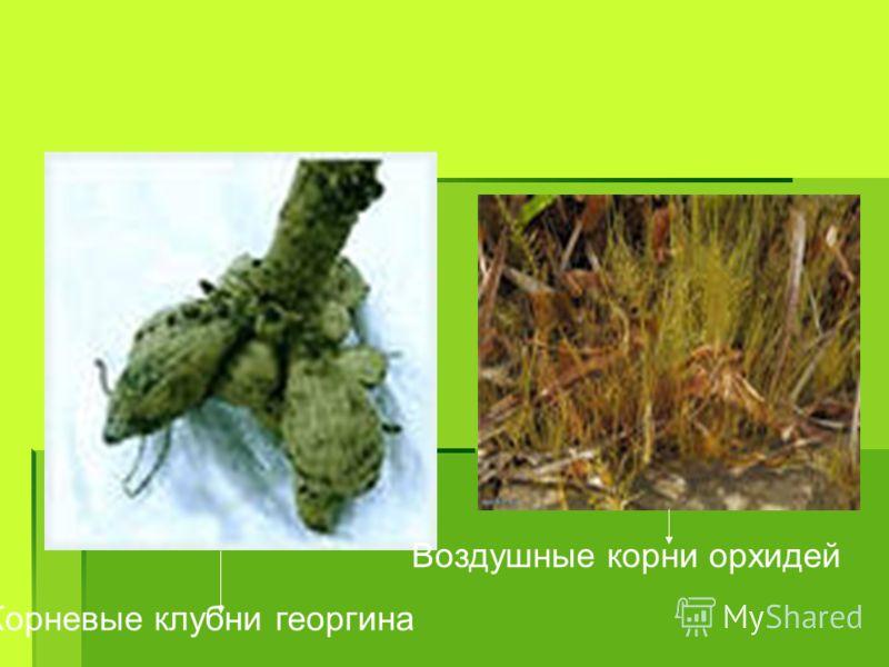 Корневые клубни георгина Воздушные корни орхидей