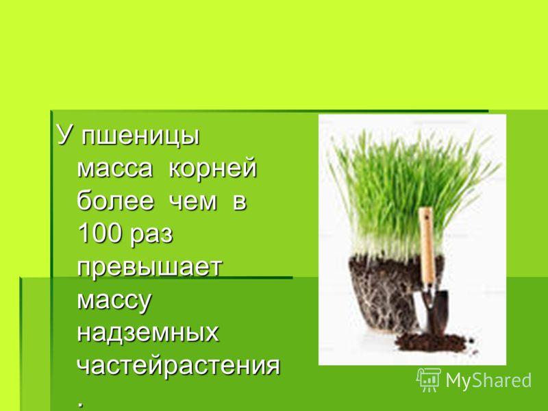 У пшеницы масса корней более чем в 100 раз превышает массу надземных частейрастения.