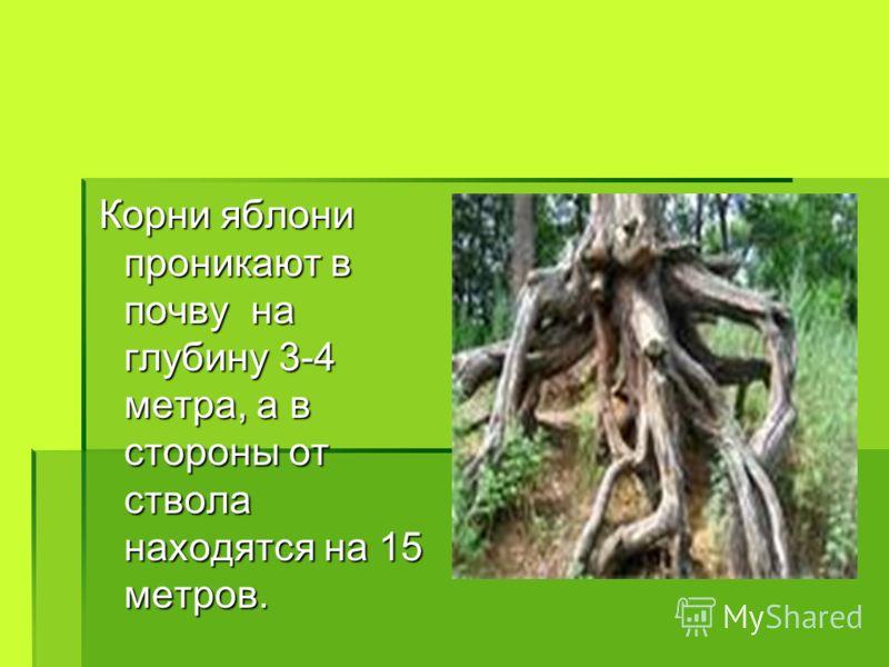 Корни яблони проникают в почву на глубину 3-4 метра, а в стороны от ствола находятся на 15 метров. Корни яблони проникают в почву на глубину 3-4 метра, а в стороны от ствола находятся на 15 метров.