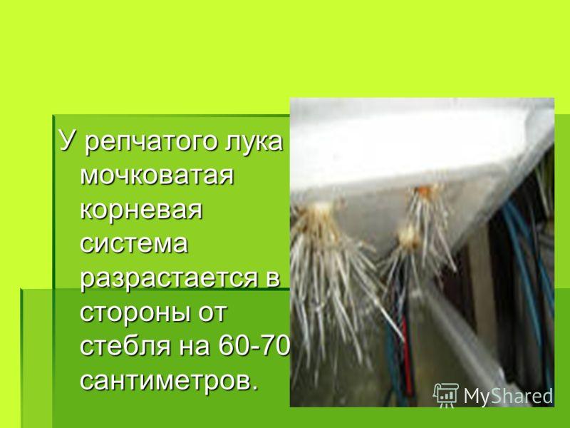 У репчатого лука мочковатая корневая система разрастается в стороны от стебля на 60-70 сантиметров.