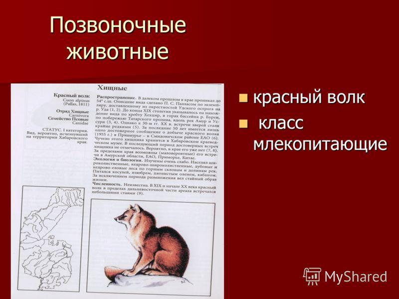 Позвоночные животные красный волк красный волк класс млекопитающие класс млекопитающие