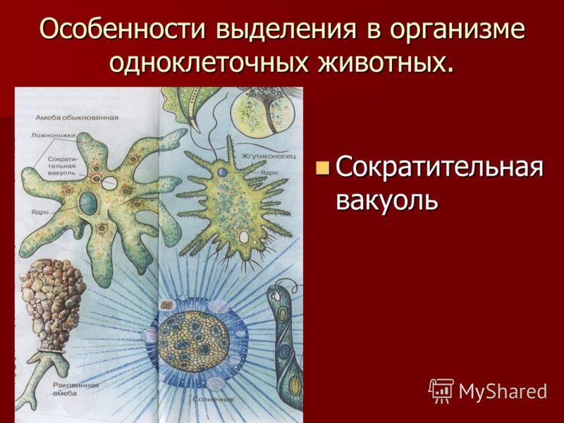 Особенности выделения в организме одноклеточных животных. Сократительная вакуоль Сократительная вакуоль