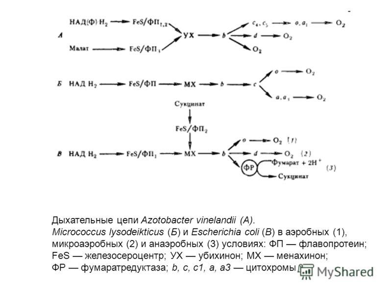 Дыхательные цепи Azotobacter vinelandii (A). Micrococcus lysodeikticus (Б) и Escherichia coli (В) в аэробных (1), микроаэробных (2) и анаэробных (3) условиях: ФП флавопротеин; FeS железосероцентр; УХ убихинон; MX менахинон; ФР фумаратредуктаза; b, c,
