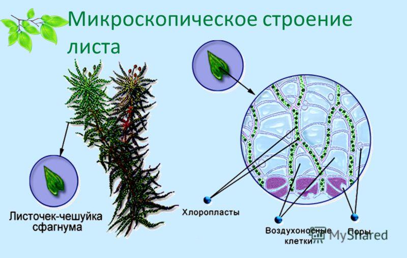 Микроскопическое строение листа