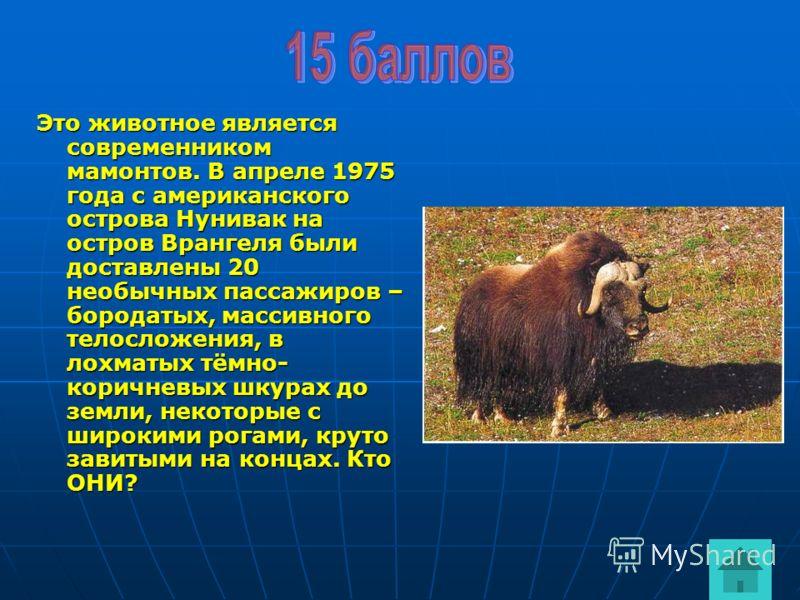 Это животное является современником мамонтов. В апреле 1975 года с американского острова Нунивак на остров Врангеля были доставлены 20 необычных пассажиров – бородатых, массивного телосложения, в лохматых тёмно- коричневых шкурах до земли, некоторые