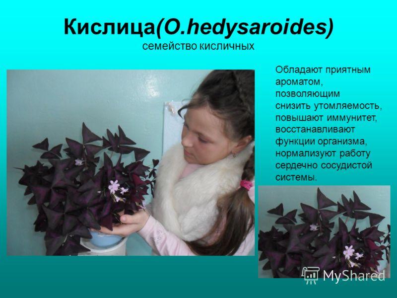 Кислица(O.hedysaroides) семейство кисличных Обладают приятным ароматом, позволяющим снизить утомляемость, повышают иммунитет, восстанавливают функции организма, нормализуют работу сердечно сосудистой системы.