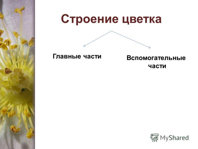 Cтроение цветка Главные части Вспомогательные части