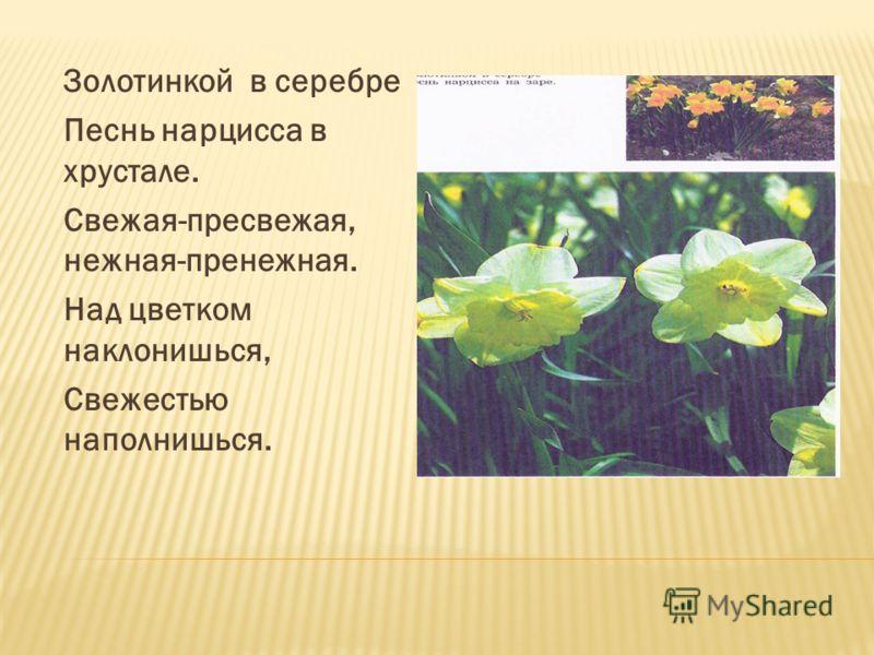 Золотинкой в серебре Песнь нарцисса в хрустале. Свежая-пресвежая, нежная-пренежная. Над цветком наклонишься, Свежестью наполнишься.