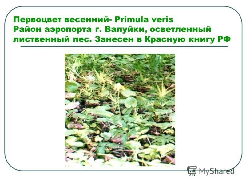 Первоцвет весенний- Primula veris Район аэропорта г. Валуйки, осветленный лиственный лес. Занесен в Красную книгу РФ