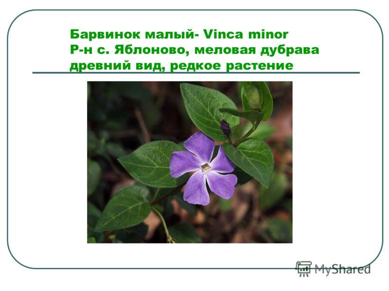 Барвинок малый- Vinca minor Р-н с. Яблоново, меловая дубрава древний вид, редкое растение