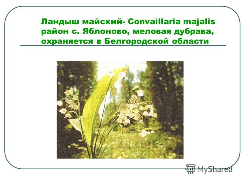 Ландыш майский- Convaillaria majalis район с. Яблоново, меловая дубрава, охраняется в Белгородской области