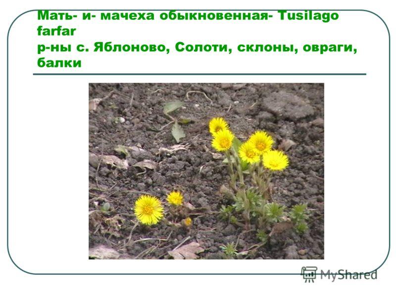 Мать- и- мачеха обыкновенная- Tusilago farfar р-ны с. Яблоново, Солоти, склоны, овраги, балки