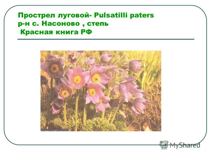 Прострел луговой- Pulsatilli paters р-н с. Насоново, степь Красная книга РФ