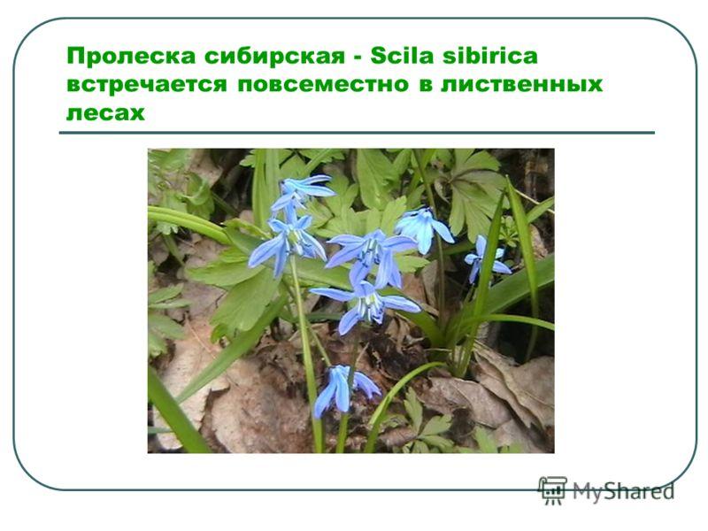 Пролеска сибирская - Scila sibirica встречается повсеместно в лиственных лесах