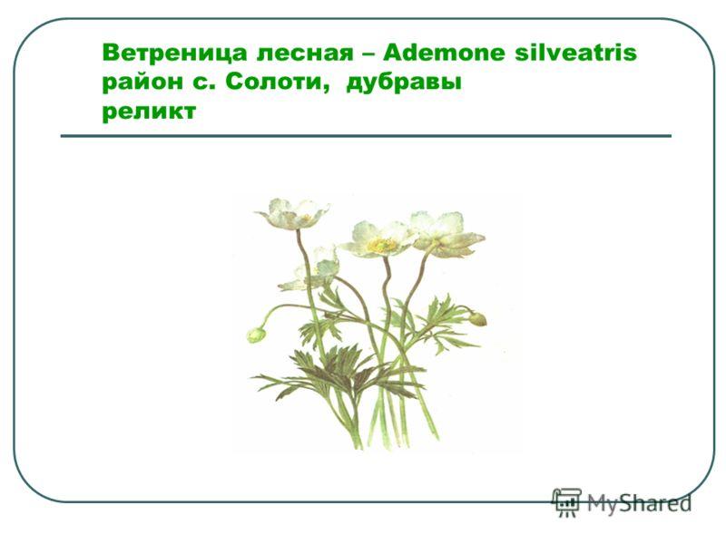 Ветреница лесная – Ademone silveatris район с. Солоти, дубравы реликт