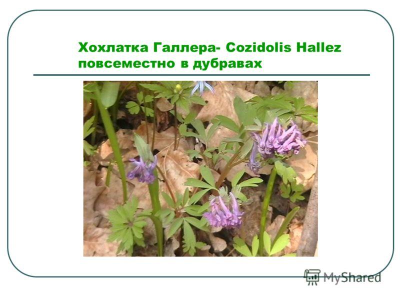 Хохлатка Галлера- Cozidolis Hallez повсеместно в дубравах