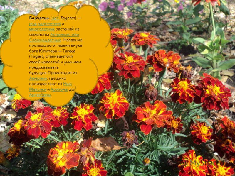 Бархатцы (лат. Tagetes) род однолетних и многолетних растений из семейства Астровые, или Сложноцветные. Название произошло от имени внука бога Юпитера Тагеса (Tages), славившегося своей красотой и умением предсказывать будущее.Происходят из Америки,