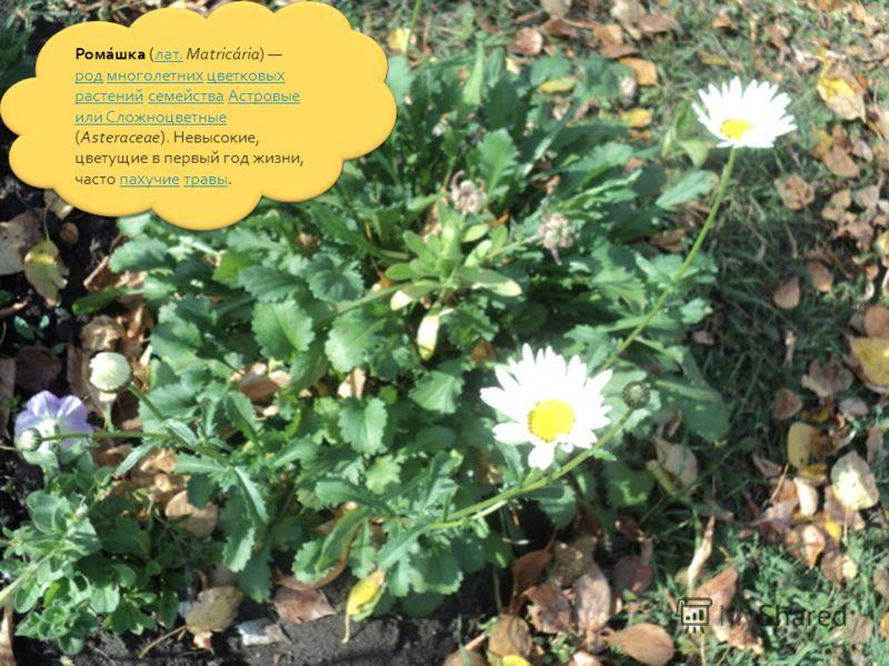 Рома́шка (лат. Matricária) род многолетних цветковых растений семейства Астровые или Сложноцветные (Asteraceae). Невысокие, цветущие в первый год жизни, часто пахучие травы.лат. родмноголетнихцветковых растенийсемействаАстровые или Сложноцветныепахуч