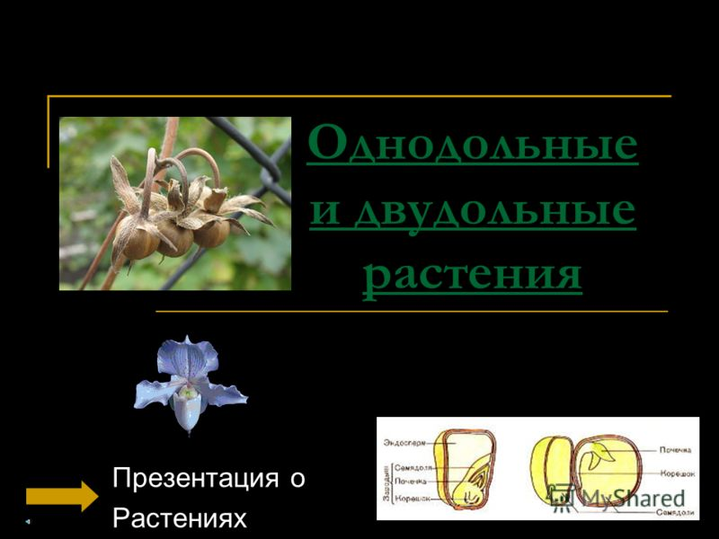 Однодольные и двудольные растения Презентация о Растениях