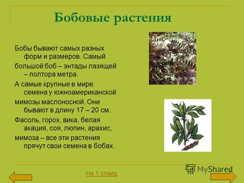 Бобовые растения Бобы бывают самых разных форм и размеров. Самый большой боб – энтады лазящей – полтора метра. А самые крупные в мире семена у южноамериканской мимозы маслоносной. Они бывают в длину 17 – 20 см. Фасоль, горох, вика, белая акация, соя,