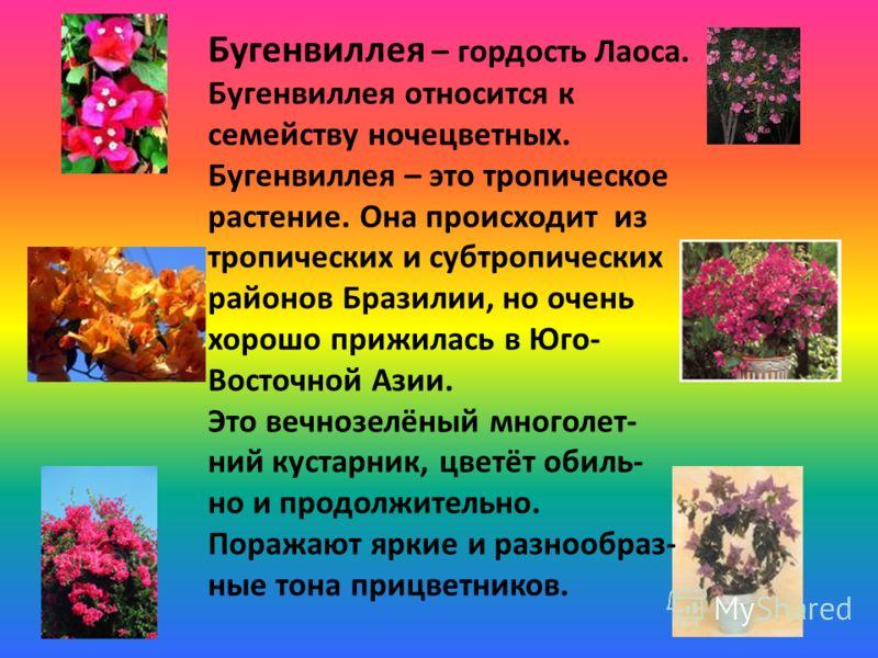 Бугенвиллея – гордость Лаоса. Бугенвиллея относится к семейству ночецветных. Бугенвиллея – это тропическое растение. Она происходит из тропических и субтропических районов Бразилии, но очень хорошо прижилась в Юго- Восточной Азии. Это вечнозелёный мн