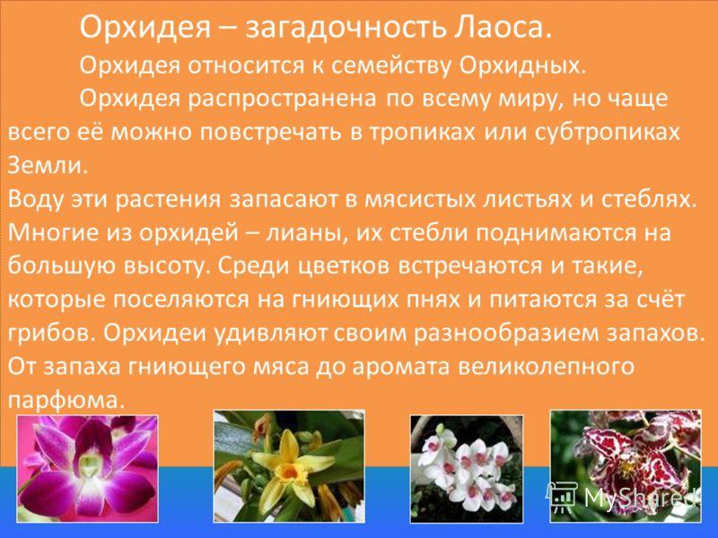 Орхидея – загадочность Лаоса. Орхидея относится к семейству Орхидных. Орхидея распространена по всему миру, но чаще всего её можно повстречать в тропиках или субтропиках Земли. Воду эти растения запасают в мясистых листьях и стеблях. Многие из орхиде
