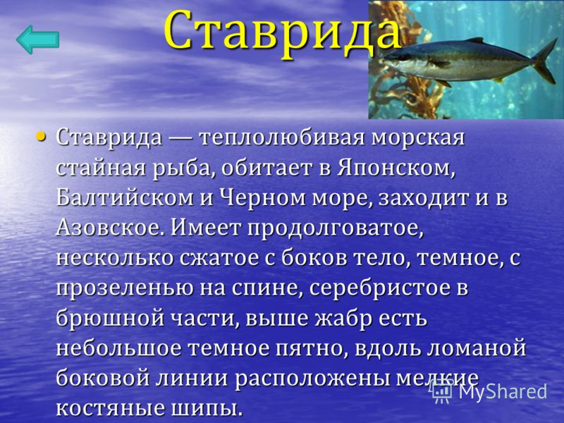 Ставрида Ставрида теплолюбивая морская стайная рыба, обитает в Японском, Балтийском и Черном море, заходит и в Азовское. Имеет продолговатое, несколько сжатое с боков тело, темное, с прозеленью на спине, серебристое в брюшной части, выше жабр есть не