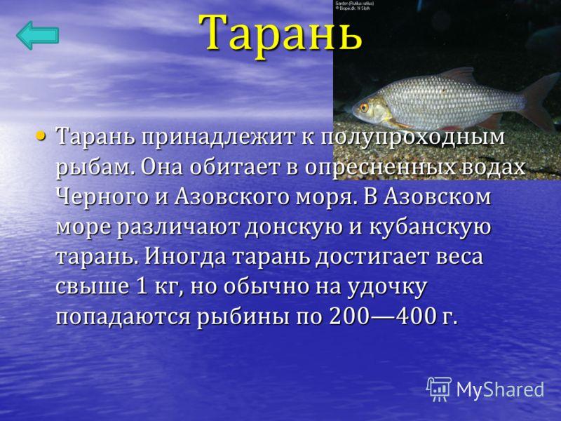 Тарань Тарань принадлежит к полупроходным рыбам. Она обитает в опресненных водах Черного и Азовского моря. В Азовском море различают донскую и кубанскую тарань. Иногда тарань достигает веса свыше 1 кг, но обычно на удочку попадаются рыбины по 200400