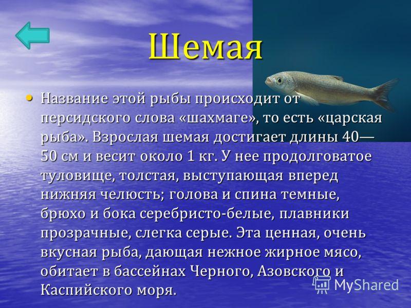 Шемая Название этой рыбы происходит от персидского слова « шахмаге », то есть « царская рыба ». Взрослая шемая достигает длины 40 50 см и весит около 1 кг. У нее продолговатое туловище, толстая, выступающая вперед нижняя челюсть ; голова и спина темн