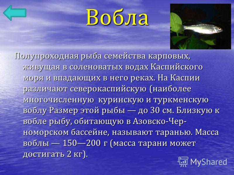 Вобла Полупроходная рыба семейства карповых, живущая в соленоватых водах Каспийского моря и впадающих в него реках. На Каспии различают северокаспийскую ( наиболее многочисленную куринскую и туркменскую воблу Размер этой рыбы до 30 см. Близкую к вобл
