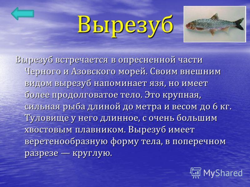 Вырезуб Вырезуб встречается в опресненной части Черного и Азовского морей. Своим внешним видом вырезуб напоминает язя, но имеет более продолговатое тело. Это крупная, сильная рыба длиной до метра и весом до 6 кг. Туловище у него длинное, с очень боль
