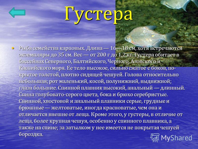 Густера Рыба семейства карповых. Длина 1618 см, хотя встречаются экземпляры до 35 см. Вес от 200 г до 1,2 кг. Густера обитает в бассейнах Северного, Балтийского, Черного, Азовского и Каспийского моря. Ее тело высокое, сильно сжатое с боков, по - крыт