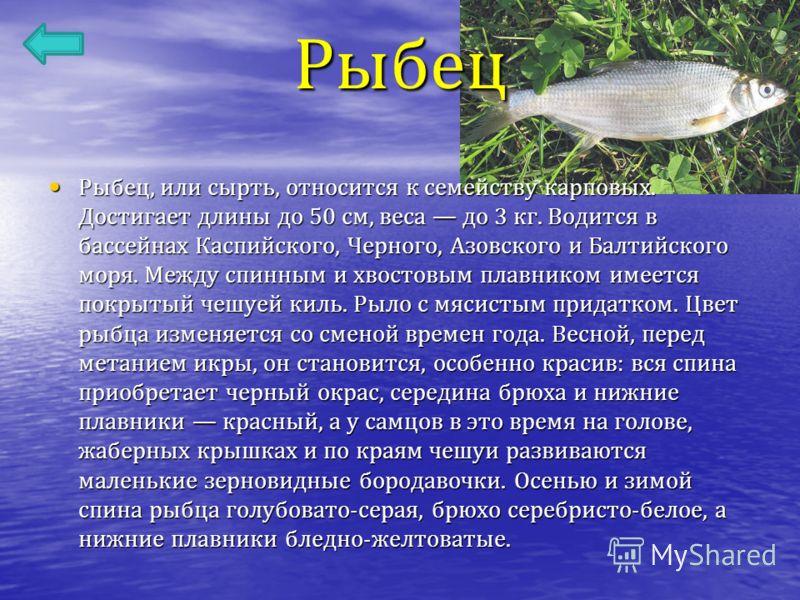 Рыбец Рыбец, или сырть, относится к семейству карповых. Достигает длины до 50 см, веса до 3 кг. Водится в бассейнах Каспийского, Черного, Азовского и Балтийского моря. Между спинным и хвостовым плавником имеется покрытый чешуей киль. Рыло с мясистым