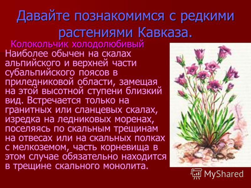 Давайте познакомимся с редкими растениями Кавказа. Колокольчик холодолюбивый Колокольчик холодолюбивый Наиболее обычен на скалах альпийского и верхней части субальпийского поясов в приледниковой области, замещая на этой высотной ступени близкий вид.