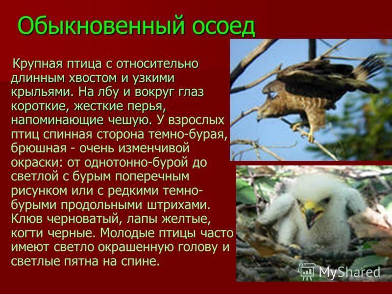 Обыкновенный осоед Крупная птица с относительно длинным хвостом и узкими крыльями. На лбу и вокруг глаз короткие, жесткие перья, напоминающие чешую. Крупная птица с относительно длинным хвостом и узкими крыльями. На лбу и вокруг глаз короткие, жестки
