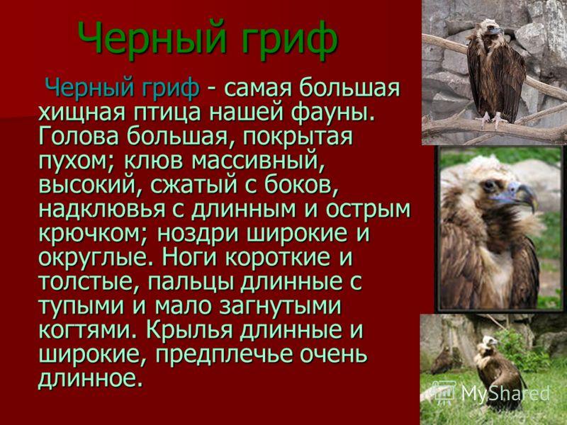 Черный гриф Черный гриф - самая большая хищная птица нашей фауны. Голова большая, покрытая пухом; клюв массивный, высокий, сжатый с боков, надклювья с длинным и острым крючком; ноздри широкие и округлые. Ноги короткие и толстые, пальцы длинные с тупы
