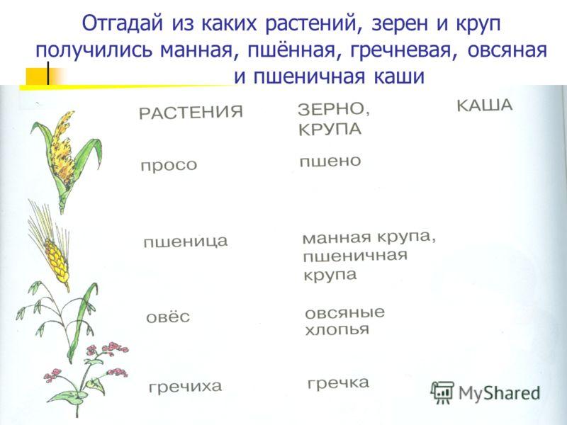 Отгадай из каких растений, зерен и круп получились манная, пшённая, гречневая, овсяная и пшеничная каши