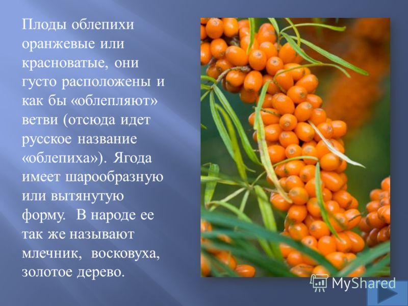 Древние греки называли эту ягоду « лоснящаяся лошадь ». Они заметили, что лошадки, которые паслись в зарослях облепихи, поедая листья и золотистые ягоды, становились упитанными, а их грива и шкура начинали блестеть. Поэтому облепиху начали использова