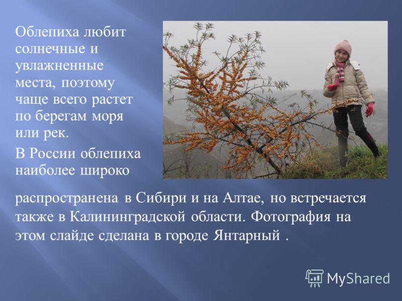 Плоды облепихи оранжевые или красноватые, они густо расположены и как бы « облепляют » ветви ( отсюда идет русское название « облепиха »). Ягода имеет шарообразную или вытянутую форму. В народе ее так же называют млечник, восковуха, золотое дерево.
