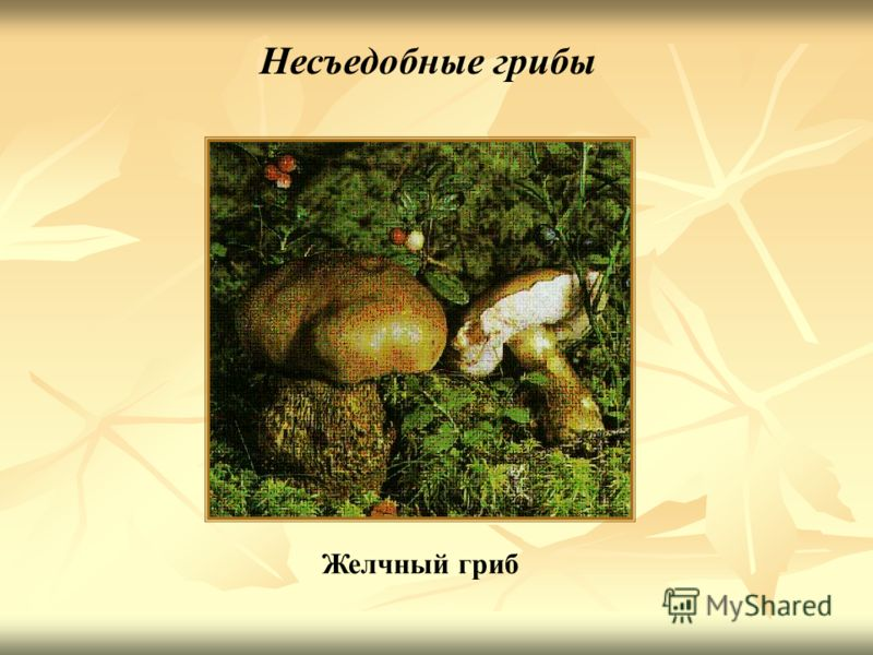 Желчный гриб Несъедобные грибы